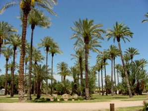 PALM TREES OF ARIZONA