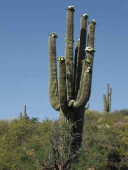 SAGUARO CACTUS WITH BLOSSOMS 2