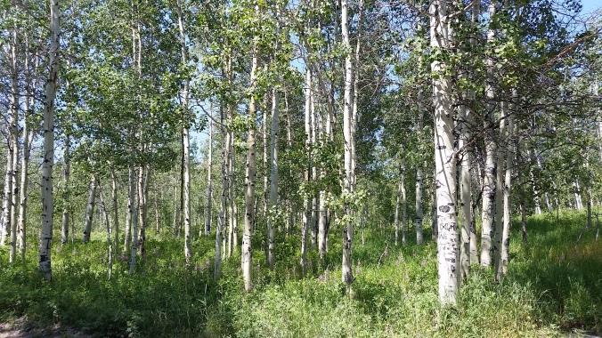 trees-aspens-great-photo